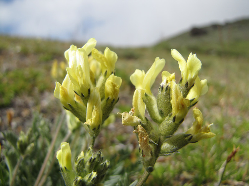 Oxytropis monticola ssp. monticola, syn. O. campestris ssp. gracilis (trail to Mount Townsend from upper trailhead)