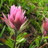 Castilleja parviflora (Scree on northside of Klahane Ridge, Olympic Mountains)