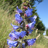 Echium vulgare (not native)