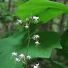 Tiarella trifoliata var. trifoliolata (trail to Mount Townsend from upper trailhead)