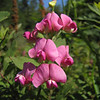 Lathyrus latifolius, (nonnative) roadsite 101 South Washington