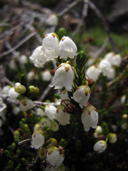 Cassiope mertensiana (Scree on northside of Klahane Ridge, Olympic Mountains)