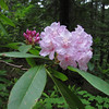 Rhododendron macrophyllum (trail to Mount Townsend from upper trailhead)