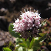 Valeriana sitchensis (North side of Klahane Ridge, Olympic Mountains)