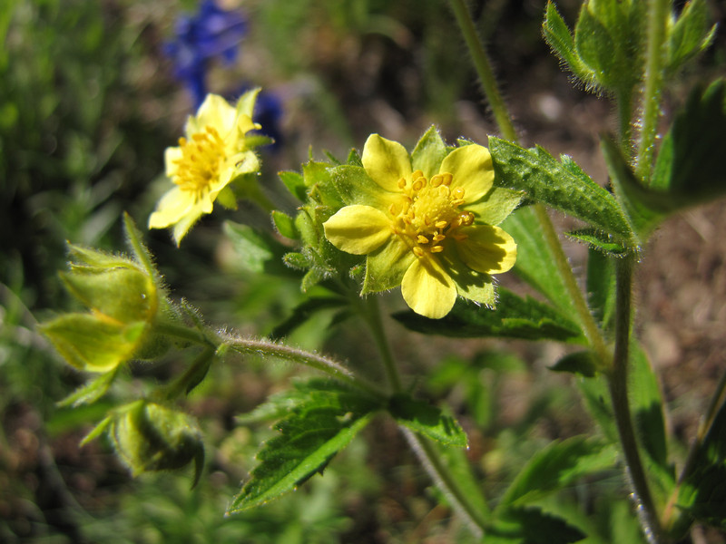 Potentilla glandulosa (between Heart of the Hills and Hurricane Ridge, Olympic Mountains)