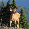 Odocoileus columbianus, Columbian black-tailed deer, male (Hurricane Ridge, Olympic Mountains)