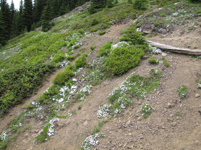 Phlox diffusa (trail to Mount Townsend from upper trailhead)