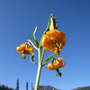 Lilium columbianum (near Hurricane Ridge, Olympic Mountains)