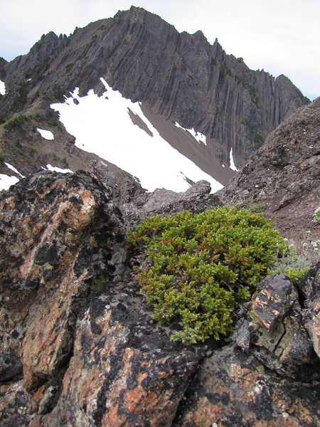 Juniperus spec.  (Klahane Ridge, Olympic Mountains)