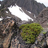 Juniperus spec.  (Klahane Ridge, Olympic Mountains)