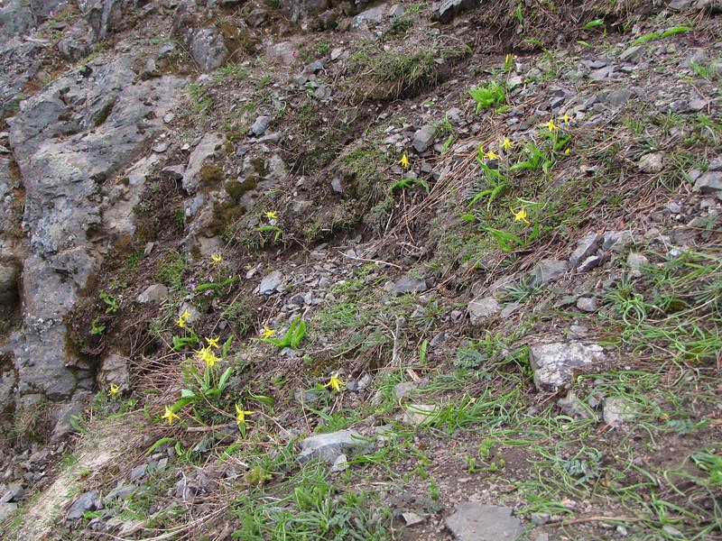 Erythronium grandiflorum (trail to Mount Townsend from upper trailhead)