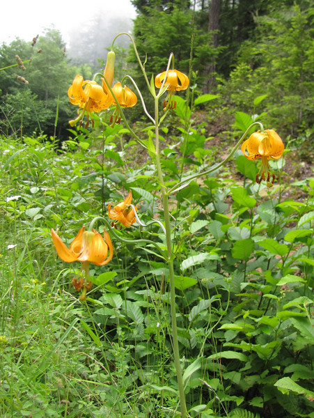 Lilium columbianum (between Quilcene and upper trailhead Mount Townsend)