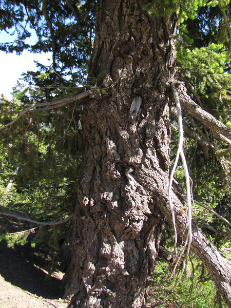 Pseudotsuga menziesii (Between Heart of the Hills and Hurricane Ridge, Olympic Mountains)