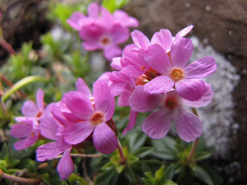 Douglasia laevigata (North side of Klahane Ridge, Olympic Mountains)
