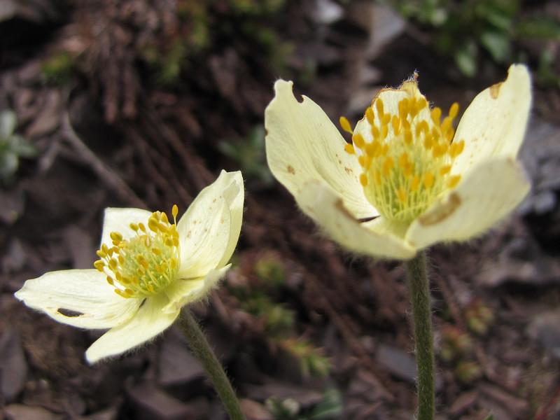 Anemone occidentalis (North side of Klahane Ridge, Olympic Mountains)