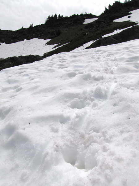 footprints of Oreamnos americanus, Mountain Goat