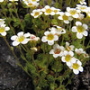 Saxifraga caespitosa (North side of Klahane Ridge, Olympic Mountains)