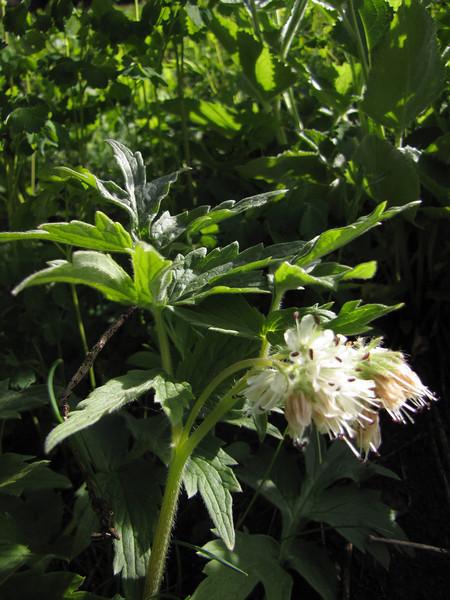 Hydrophyllum tenuipes or fendleri (Switchback Trail, Olympic Mountains)
