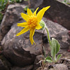 Arnica mollis, Hairy arnica (Klahane Ridge from Switchback Trail, Olympic Mountains)