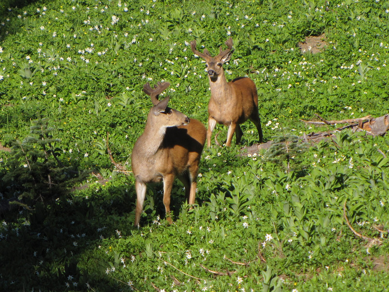 Odocoileus columbianus, Columbian black-tailed deer, male (near Hurricane Ridge, Olympic Mountains)