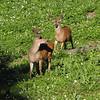 Odocoileus columbianus, Columbian black-tailed deer, male (near Hurricane Ridge, Olympic Mountains)