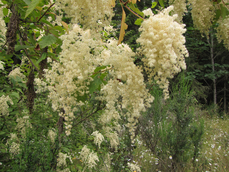 Holodiscus discolor (foothills of Olympic Mountains, not far from Sequim)