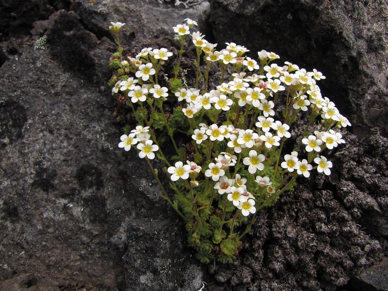 Saxifraga caespitosa (North side of Klahane Ridge, Olympic Mountains)