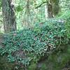 Goodyera oblongifolia (photo Kees Jan)