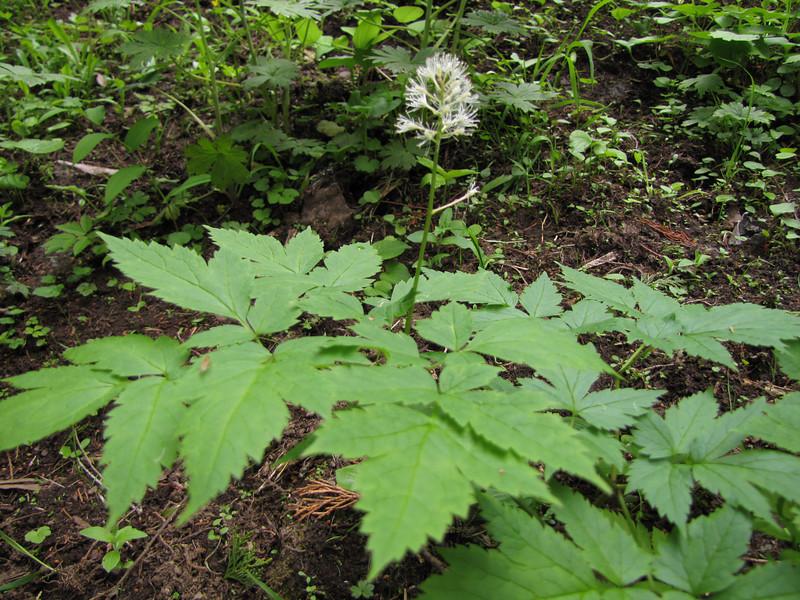 Actaea rubra (near Switchback trail trailhead)