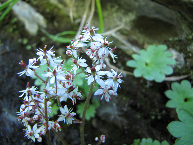 Saxifraga nelsoniana ssp. cascadensis? (along small stream, near Hurricane Ridge, Olympic Mountains)