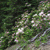 Rhododendron macrophyllum (between Quilcene and upper trailhead Mount Townsend)