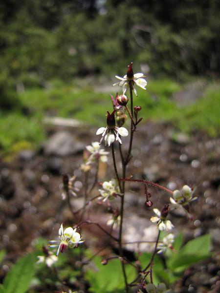 Micranthes odontoloma (near Switchback trail trailhead)