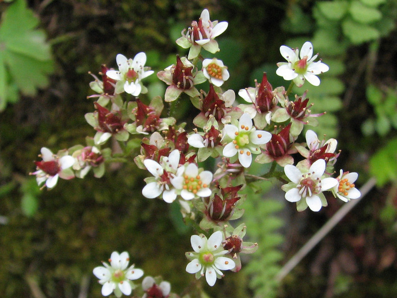 Saxifraga rufidula (trail to Mount Townsend from upper trailhead)