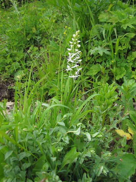 Habenaria dilatata var. dilatata (trail to Mount Townsend from upper trailhead)