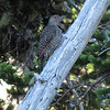 Colaptes auratus, Northern Flicker