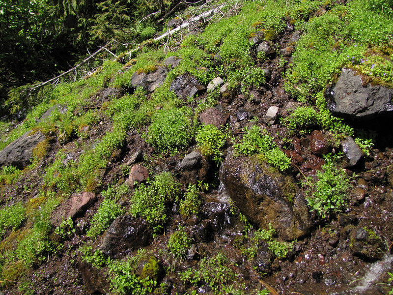 wet habitat of Micranthes odontoloma (near Switchback trail trailhead)