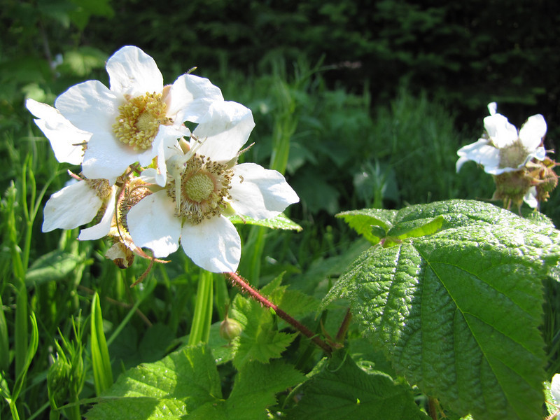 Rubus parviflorus (between Quilcene and upper trailhead Mount Townsend)