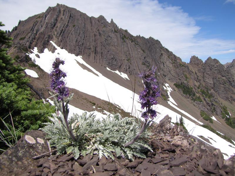 Phacelia sericea (Klahane Ridge from Switchback Trail, Olympic Mountains)