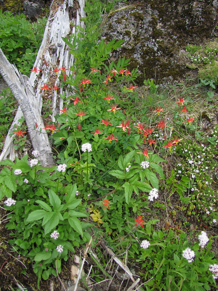 Aquilegia formosa and Valeriana? (trail to Mount Townsend from upper trailhead)