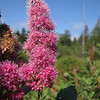 Spiraea douglasii var. menziesii, roadsite 101 South Washington