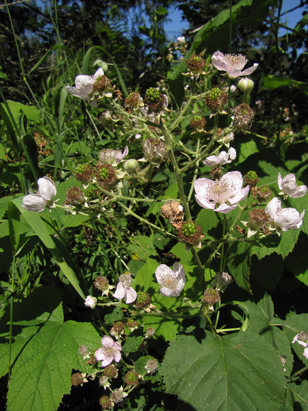Rubus spec. roadsite 101 South Washington