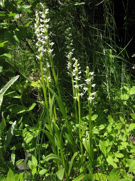 Habenaria dilatata? (near Switchback trail trailhead, Olympic National Park)