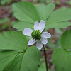 Anemone lyallii (trail to Mount Townsend from upper trailhead)