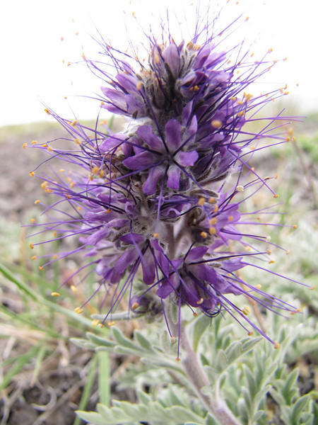 Phacelia sericea (trail to Mount Townsend from upper trailhead)
