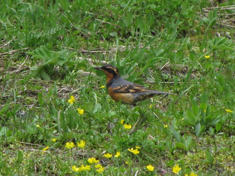 Ixoreus naevius, Varied Thrush (smaller than American Robin) Endemic to NW America