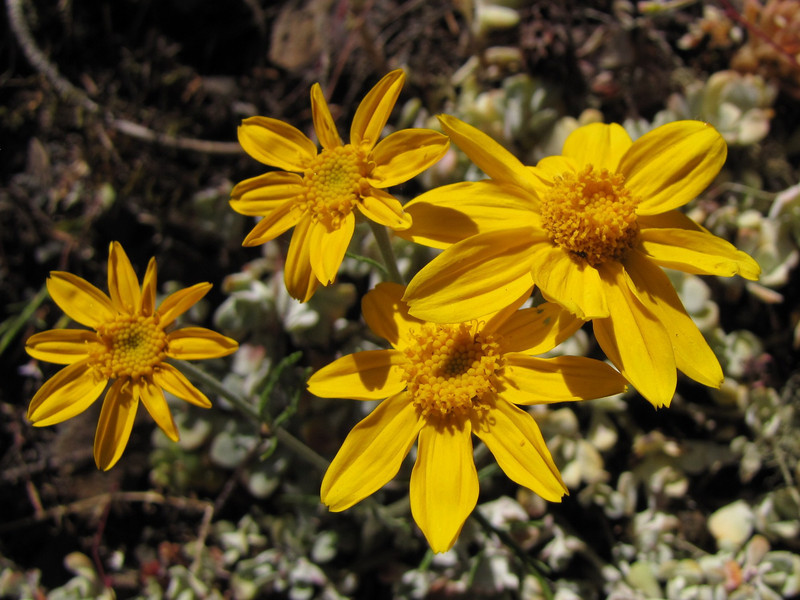 Eriophyllum lanatum (between Heart of the Hills and Hurricane Ridge - near viewpoint -, Olympic Mountains)