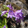 Penstemon serrulatus, opposite leaves, sharp-pointed teeth (between Heart of the Hills and Hurricane Ridge - near viewpoint -, Olympic Mountains)
