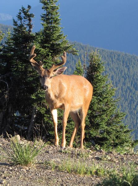 Odocoileus columbianus, Columbian black-tailed deer, male (Hurricane Ridge, Olympic Mountains)