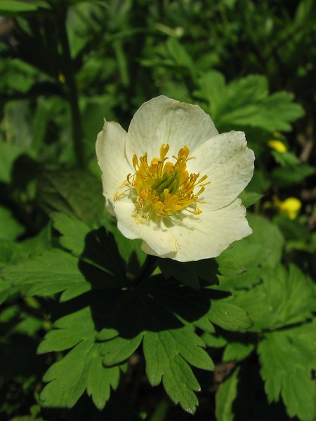 Trollius laxus (near Hurricane Ridge, Olympic Mountains)