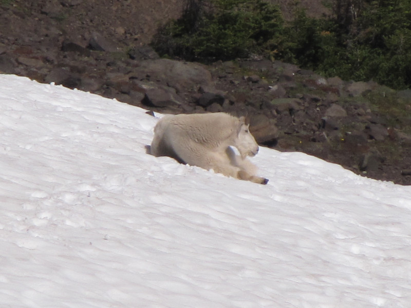 Oreamnos americanus, Mountain Goat (Klahane Ridge from Switchback Trail, Olympic Mountains)